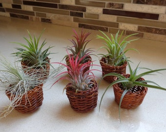 6 Pack Mini Baskets With Air Plants