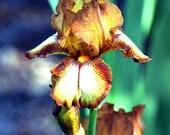 Bronze and Gold Iris
