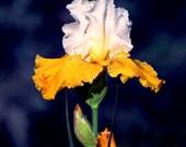 Iris In Yellow and White