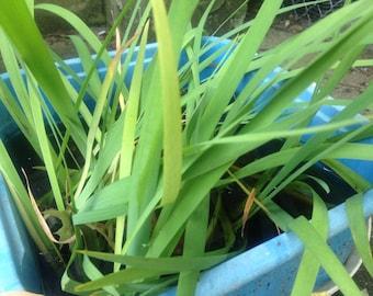 SALE....3 live Hardy purple Iris pond Plants