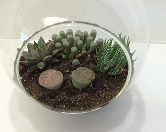Succulent Plant Glass Globe Terrarium DIY Complete Kit with Four Succulent Plants.