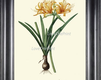 BOTANICAL PRINT Redoute Flower  Art 74 Beautiful Golden Yellow Amaryllis Plant Tropical Garden Nature Antique Writing Home Decor