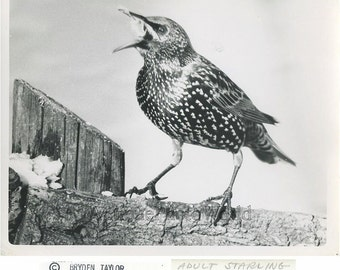 Starling bird vintage art photo by B. Taylor