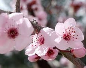 Fresh's Sugar Blossom Type Premium Fragrance Oil  Available In Several Sizes