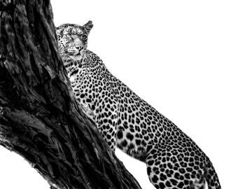 Wildlife Photography Masculine Art Leopard Wall Art Nature Photography Animal Photography African Animal Leopard Art Gift For Boyfriend
