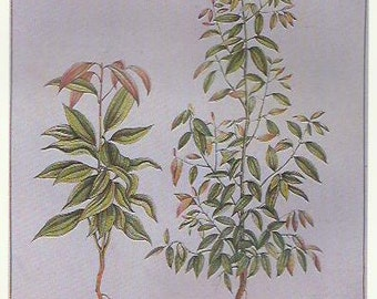 Cinnamon Herbs Herbal Botany Flower Print 1980 Botany colour print Wall Art Home Decor Vintage Print Modern Print