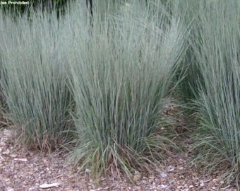 Vikkivines purple fountain grass pennisetum setaceum for Easy to grow ornamental grasses