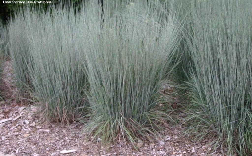 Little bluestem ornamental grass seeds schizachyrium for Common ornamental grasses