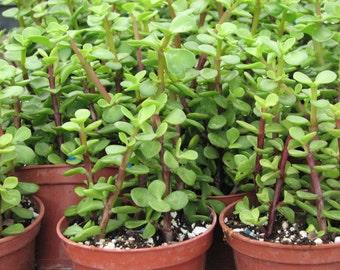 Portulacaria  Elaphant Bush Succulent Plant