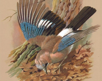 Jay Bird print Scientific wildlife Prints Nature art for home decor / summer gift