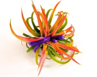 5 Pack - Air Plant - Ionantha Mexican - Set of 5 - Fast FREE Shipping - 30 Day Guarantee - Air Plants for Sale