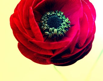 Red and Yellow Flower Photograph, Ranunculus, Floral wall art