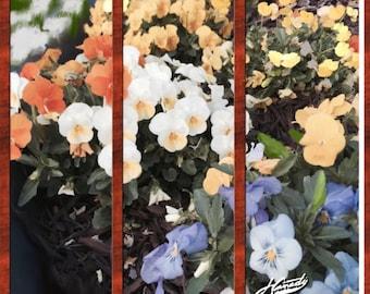 Giclee Paintings