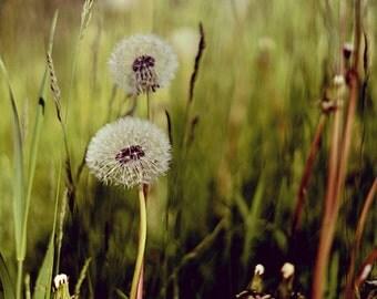 Dandelion Photography, dandelion wall art, dandelion print, 8x10 print, 8x10 photo, botanical print, flower photography, green wall art