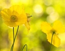Yellow Poppies, Yellow Wall Art, Yellow Decor, Nature Photography, Fine Art Prints, Garden Art, Large Wall Art, Large Art Prints
