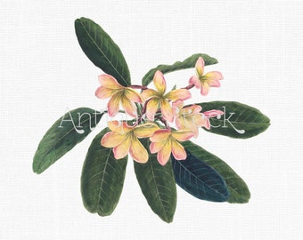 Frangipani Flowers Digital Image - Pink and Yellow Plumeria Plant Botanical Art Drawing for Scrapbook, Card Making, Prints, Decoupage...