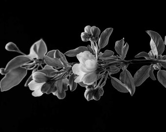 Fine Art Photography, Black and White Art, Nature Photography, Wall Art, Home Decor, Nature Prints, 8 x 12 Print, Apple Blossom Branch