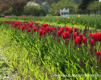 Rows of Red Tulips, Nature Photography, Flowers, Tulip Photo, Red and Green Color, Veldheer Gardens Holland MI, Sunny Field of Flowers,