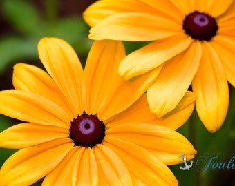 Sunshine ~ Yellow, Flowers, Photography, Black Eyed Susan, Flora, Artwork, Joules, Home Decor, Summer, Photograph, Wall, Art, Cheerful