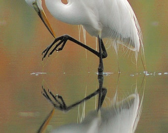 """Great egret photo, white wading bird, wading bird photo, for bird lovers, for nature lovers, Title: """"Reflected"""""""
