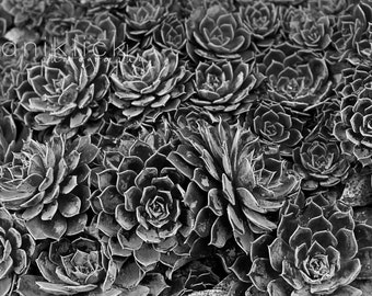 A black and white Close Up of Succulents