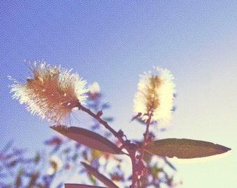 Bottlebrush Fine Art Photography Canvas Blue Sky Nature Creative Wall Art Home Decor Halftone