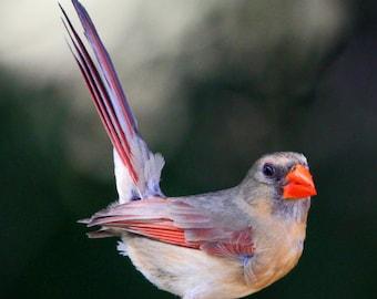 Northern cardinal photo, Northern cardinal print, bird print, cardinal photo, cardinal bird print, northern cardinal photo, bird photo