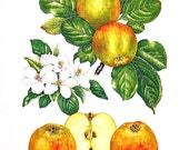 Apple Print - Ribston Pippin Apples - Kitchen Decor - Wall Hanging - Vintage 1993 Book Page - 9 x 8