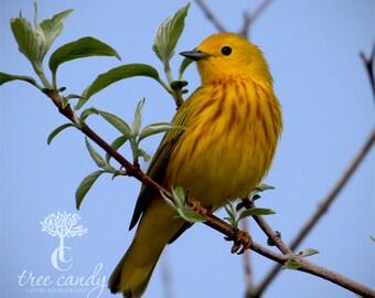 Posing Yellow Warbler