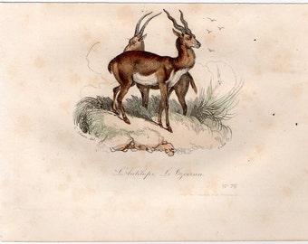 1860 antelope print original antique hand colored animal engraving - buffon cuvier natural history