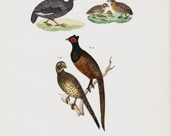 1854 Antique BIRD print. Pheasant, game birds, Gallinaceans