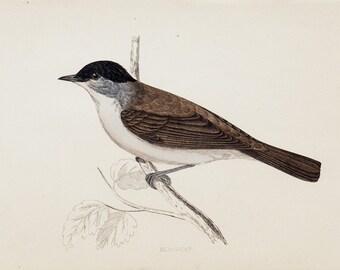Antique print 1865 Lovely antique BIRD print of a Blackcap Original antique hand colored print