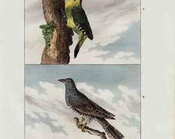 Antique print 1804 Antique BIRD print. The Green Woodpecker, the Cuckoo, Fine hand colored engraving. Original antique