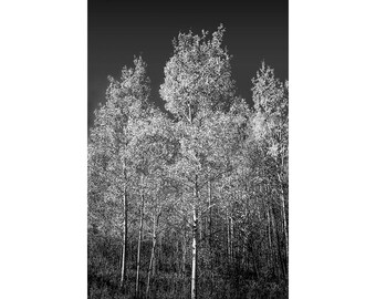 Northern Michigan Birch Trees in Black and White during Autumn against a Dark Sky No.BWFS1 A Fine Art Fall Landscape Vertical Photograph