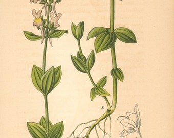 1884 Three Leaved Toadflax, Linaria triphylla Antique Lithograph