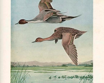Waterfowl PINTAIL Duck Original Book Plate 1912