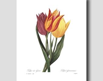 Tulip Wall Art, Country Chic Decor (Botanical Tulip Bloom, Tulip Art) --- Pierre Redoute Tulip Flower Print No. 141