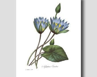 Blue Lotus Art (Water Lily Flower Print, Asian Wall Decor) Pierre Redoute Botanical No. 86