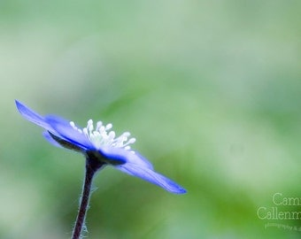 Digital download - anemone flower photography soft botanical art prints wall decor nature blue floral green dreamy macro photography print