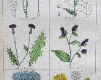 Antique print flowering plant artichoke thistle burdock dandelion botany flowers angiosperm lithograph chromolithograph