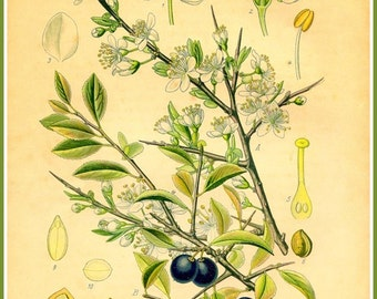 Kitchen Art Blackthorn and Sloes Victorian 1800s - Print