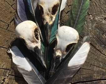 A genuine  English Magpie skull and a few feathers
