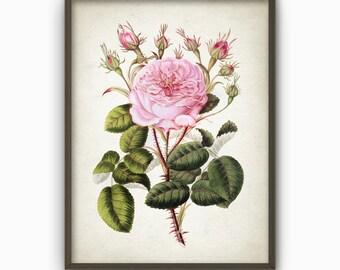 Rose Antique Botanical Art Print - Vintage Botanical Home Decor - Antique Book Plate Illustration - Giclee Flower Picture (AB50)