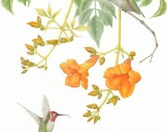 One Each: Anna's Hummingbirds on Trumpet Vine