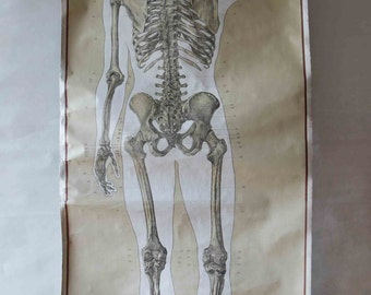 Vintage German School Wall Pull Down Chart Map of the Human Skeleton (Homo Sapiens) - Rear/Back View - Biology, Medical Anatomy