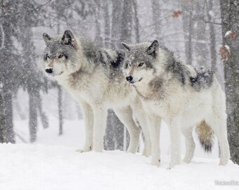 Two Wolves in Snow Blizzard Woods Northern Timber Wolves Wall Decor Paper Print- Wildlife Photography