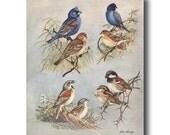 """Blue Bird Art, Antique Bird Book Plate (Office Wall Art, 1930s Bird Print) """"Indigo Blue Bunting & Blue Grosbeak"""" No. 74"""