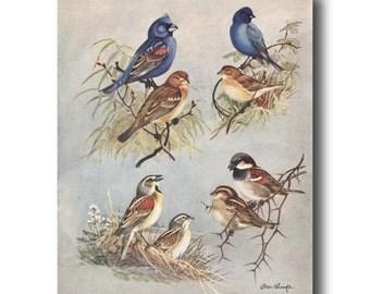 "Blue Bird Art, Antique Bird (1930s Office Decor for Women) --- ""Indigo Blue Bunting & Blue Grosbeak"" No. 74"