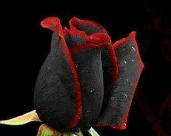 25 Black Red Edge Seeds Flowers Perennials Flowers Gardening Ideas