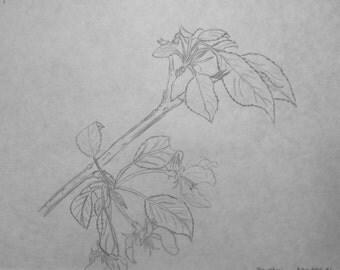Sketch of Spring Blossoms